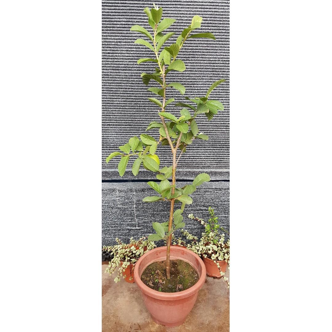 Guava (No  4 Pot)
