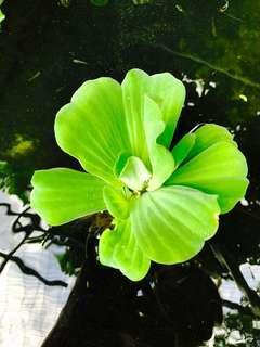 浮萍 魚缸植物 水草 水芙蓉 water plant 🌱 lettuce 10-20cm 大萍 小萍 水族用品