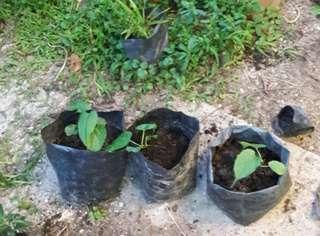 Sacha inchi plants