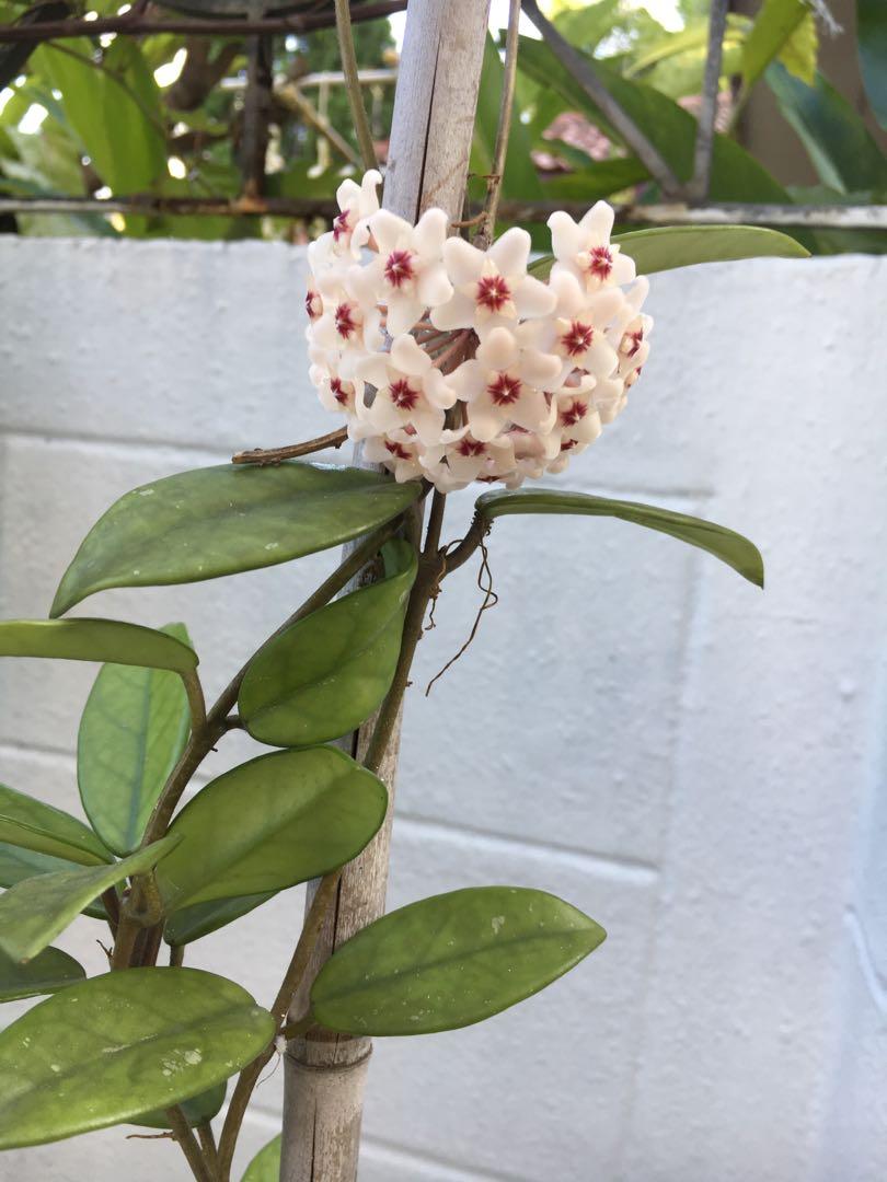 Hoya Flowers Tall Plant Gardening Plants On Carousell