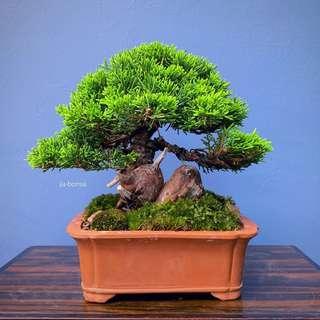 25yrs Japanese Shimpaku Bonsai