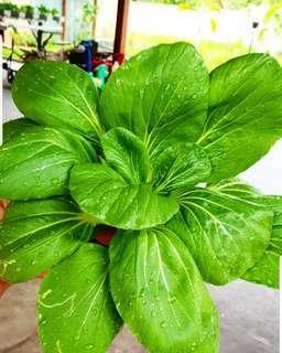 Sayur hidroponik .. pokcoy.. segar, sehat ,berkwalitas dan harga grosir..terjamin dan udah banyak pelanggan setia nya