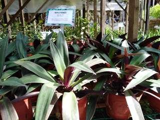 Rhoeo Spathacea (Moses in the cradle)