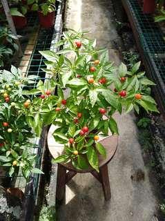 Round Chilli Plant