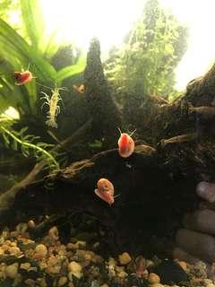 草蝦仔蘋果螺aquarium shrimp and snail
