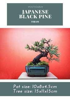 IPY088 - Japanese Black Pine Shohin - Tiram