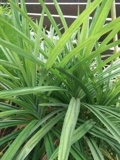 "🚚 Young ""first growth"" Pandan plant (Large)"