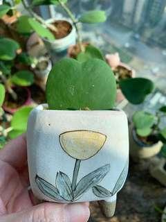 自家種植心型葉,室內盆栽、辦公室擺設、節日禮物