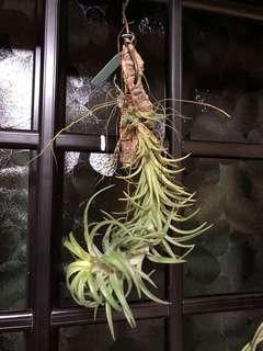 🚚 Airplant Tillandsia Neglecta E.Pereira 日本第一