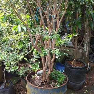 Pohon anggur brazil rajin berbuah