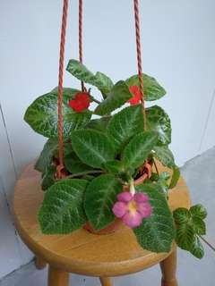 2 Types of Episcia in a hanging pot