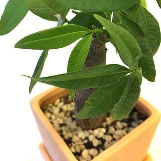 Plant - Money Tree Pachira Aquatica