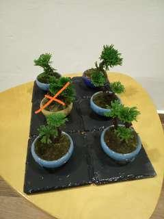 Mini Selaginella