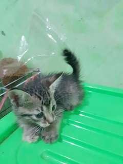 Borongan 3 Kitten himalaya mix dome