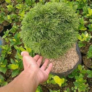 Cemara balon.. bonsai cara balon bulat unik