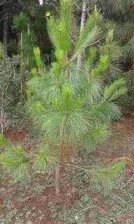Pohon pinus 1 meter up