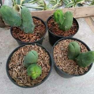 Kaktus Pnis Echinopsis Lageformis Kaktus unik