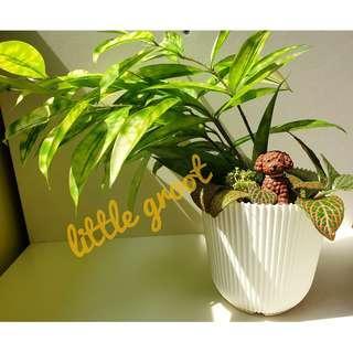 Indoor Plant Golddust Dracaena (Dracaena surculosa Aurea)