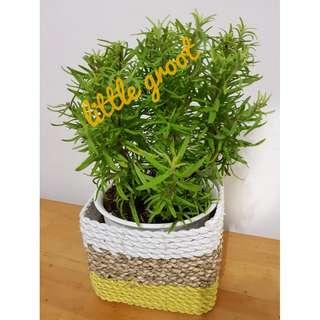 Rosemary Herb / Indoor Plant