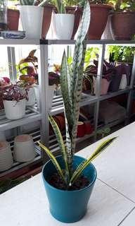SANSEVIERIA / SNAKE PLANT IN IKEA CERAMIC POT