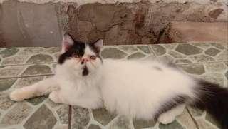 Kitten persia peaknose