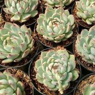 Echeveria Cihuahuaensis