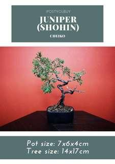 IPY095 Shohin Juniper - Cheiko