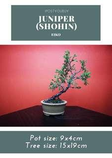 IPY096 - Shohin Juniper - Eiko