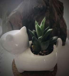 Haworthia (succulent) in ceramic pot (live plant)