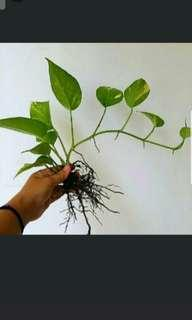 🚚 GARDENING - Money Plant (Epipremnum aureum) By Metre For Sale