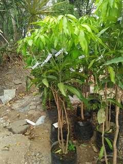 7in1 manggo plants