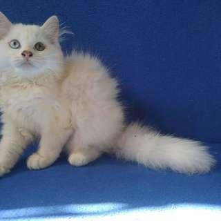 Unduh 101+  Gambar Kucing Import Paling Keren