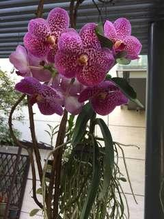Vanda orchids (3 different color available)