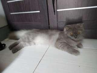 Kucing Persia Medium Betina Bulu Halus Grey Solid