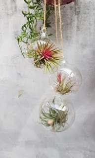 Hanging airplants in glass holder