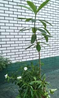 組合盆栽(約1公尺)