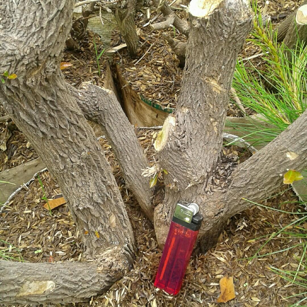 Aneka bonsai