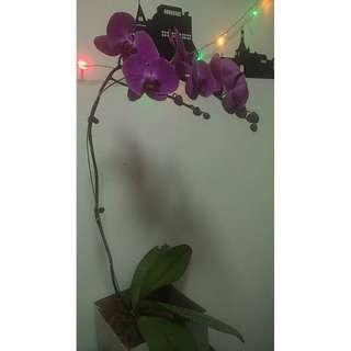INDOOR ORCHID PLANT