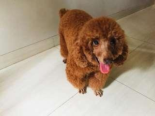 Poodle red