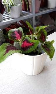 COLEUS PLANT IN IKEA POT