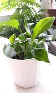 PEACE LILY PLANT IN IKEA POT