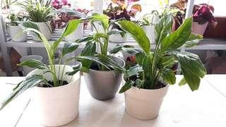 PEACE LILY PLANTS IN IKEA POTS $5 EACH