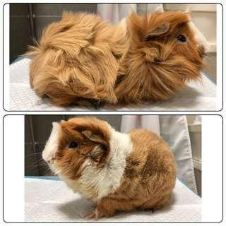 Grooming For Guinea Pigs!