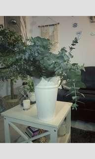Fresh eucalyptus plants