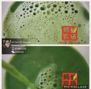 Barley Grass Juice Green Juice