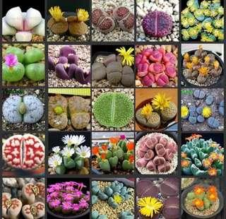 Real Fresh Lithops Mix Living Stones Seeds