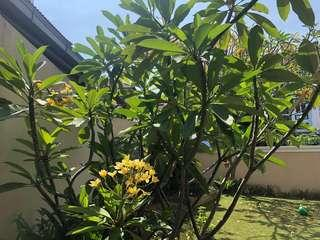 Yellow Frangipani Tree for sale