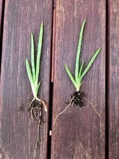 2 x Baby Aloe Vera Plants with healthy roots - ready to plant