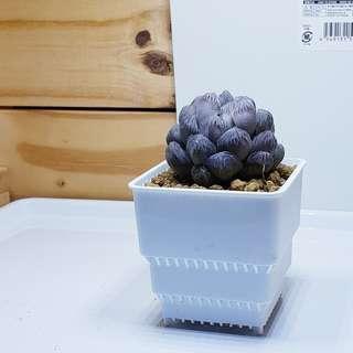 Succulent pots (10 for $8)