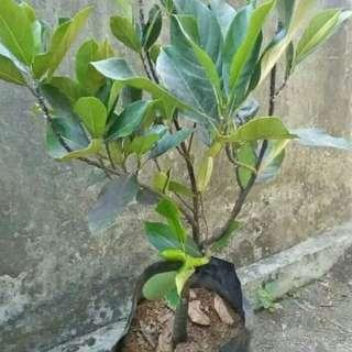 pohon nangka mini madu